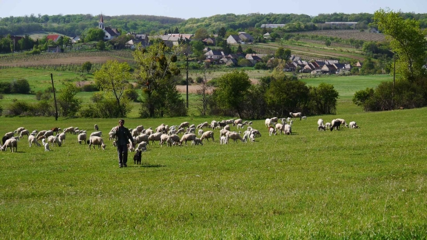 Balaton-felvidék, Nivegy-völgy, birkák.