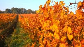 Leérett a szőlő a Balaton-felvidéken.