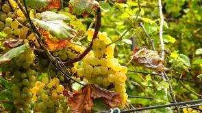 Balaton-felvidék, magas cukorfokú borszőlő.