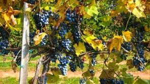 Balaton-felvidék, vörös borszőlő.