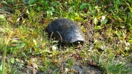 Balatonvilágos, Balatonaliga strand, mocsári teknős.